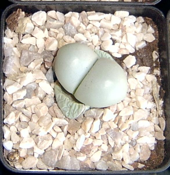 Lithops cactus piedra piedras vivas Si yo fuera alcalde o